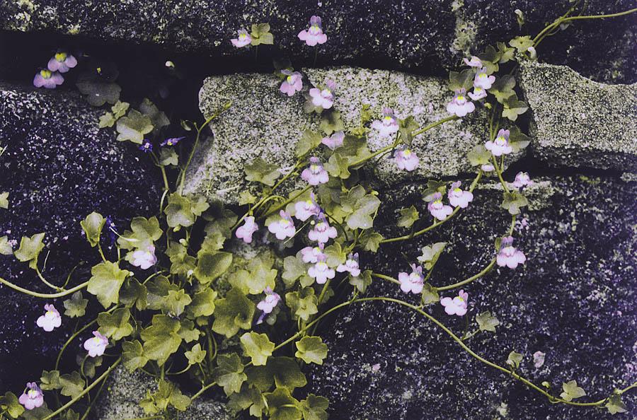 Ballastplanten murtorskemunn