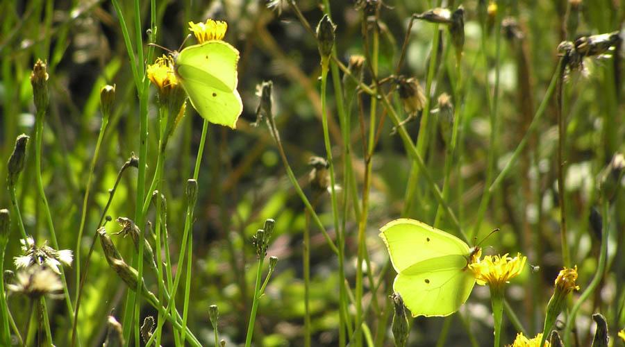 Sitronsommerfugler i blomstereng